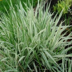 декоративная трава фалярис
