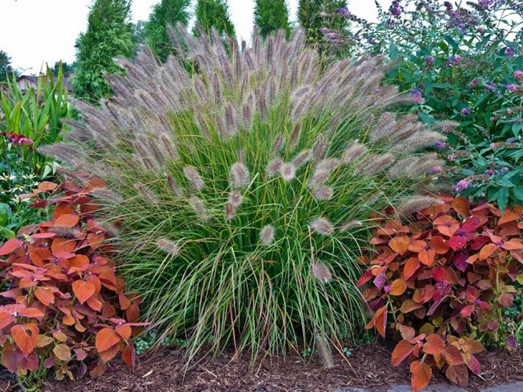 декоративная трава на участке