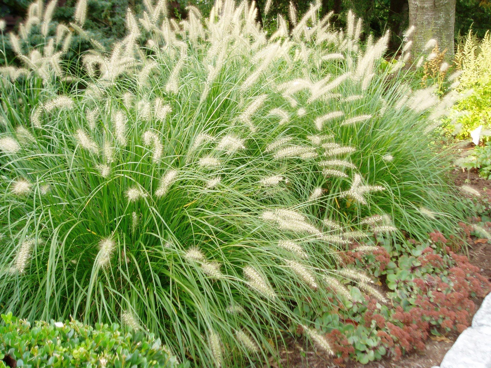 декоративная трава низкорослая
