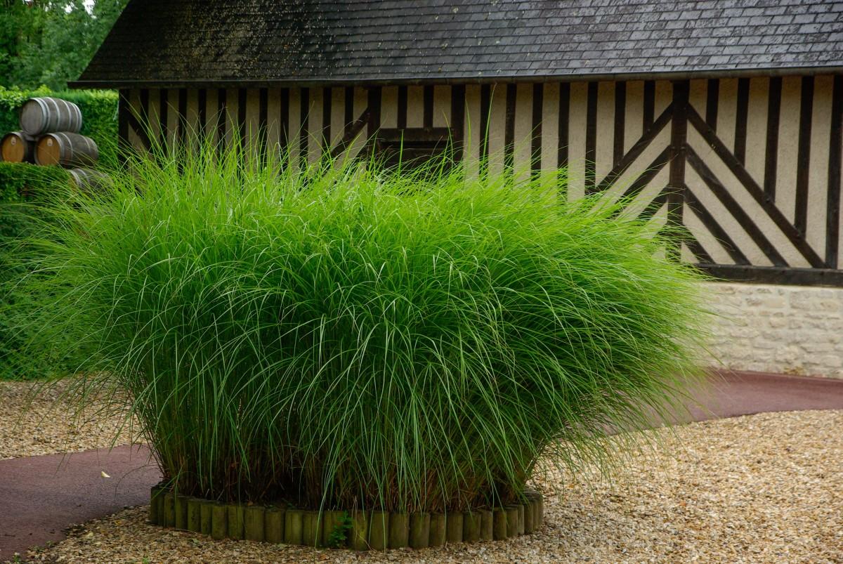 декоративная трава среднерослая