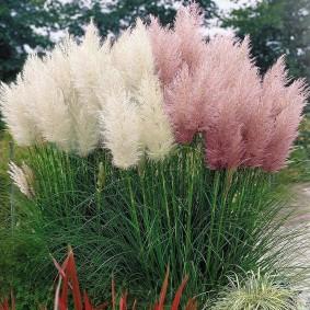 декоративная трава высокорослая фото