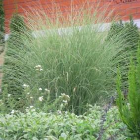 декоративная трава высокорослая идеи фото