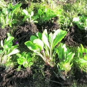 Отобранные для посадки деленки садовой примулы