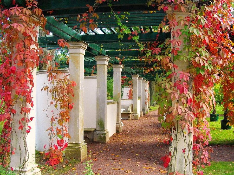 Багряные листья на лозе девичьего винограда