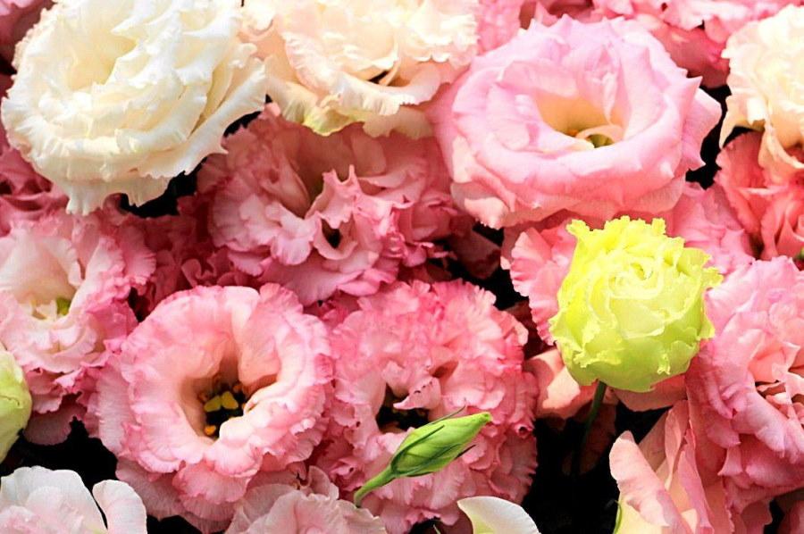 Розовые цветы эустомы гибридного сорта Аврора