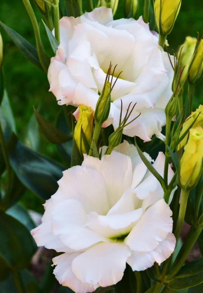 Фото белых цветов лизиантуса на садовой клумбе