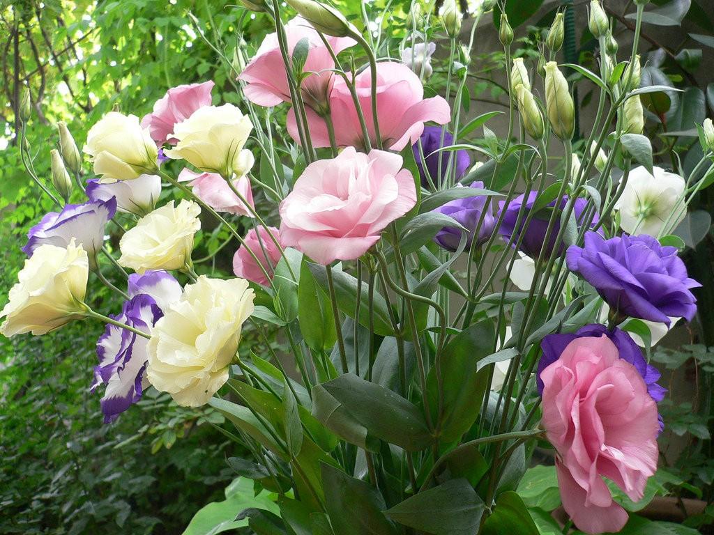 Обильное цветение кустика эустомы в частном саду