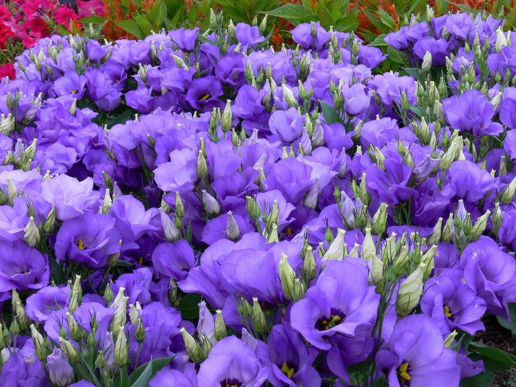 Ковровая посадка лизиантуса на садовом участке