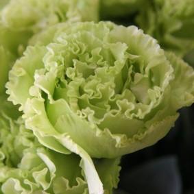 Кремовая окраска цветка на эустоме сорта Сорт Fringe mint green