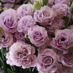 Эустома сорта Rosina lavender с лавандовыми цветками