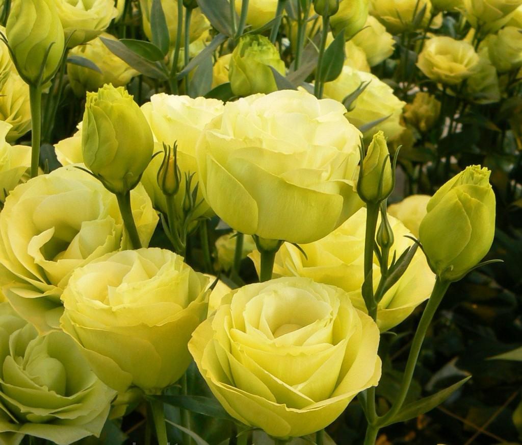Красивые цветы эустомы Yellow нежно-лимонного оттенка