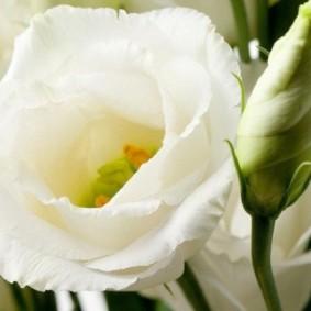Белые махровые цветки на эустоме сорта Lisianthus grandiflorum