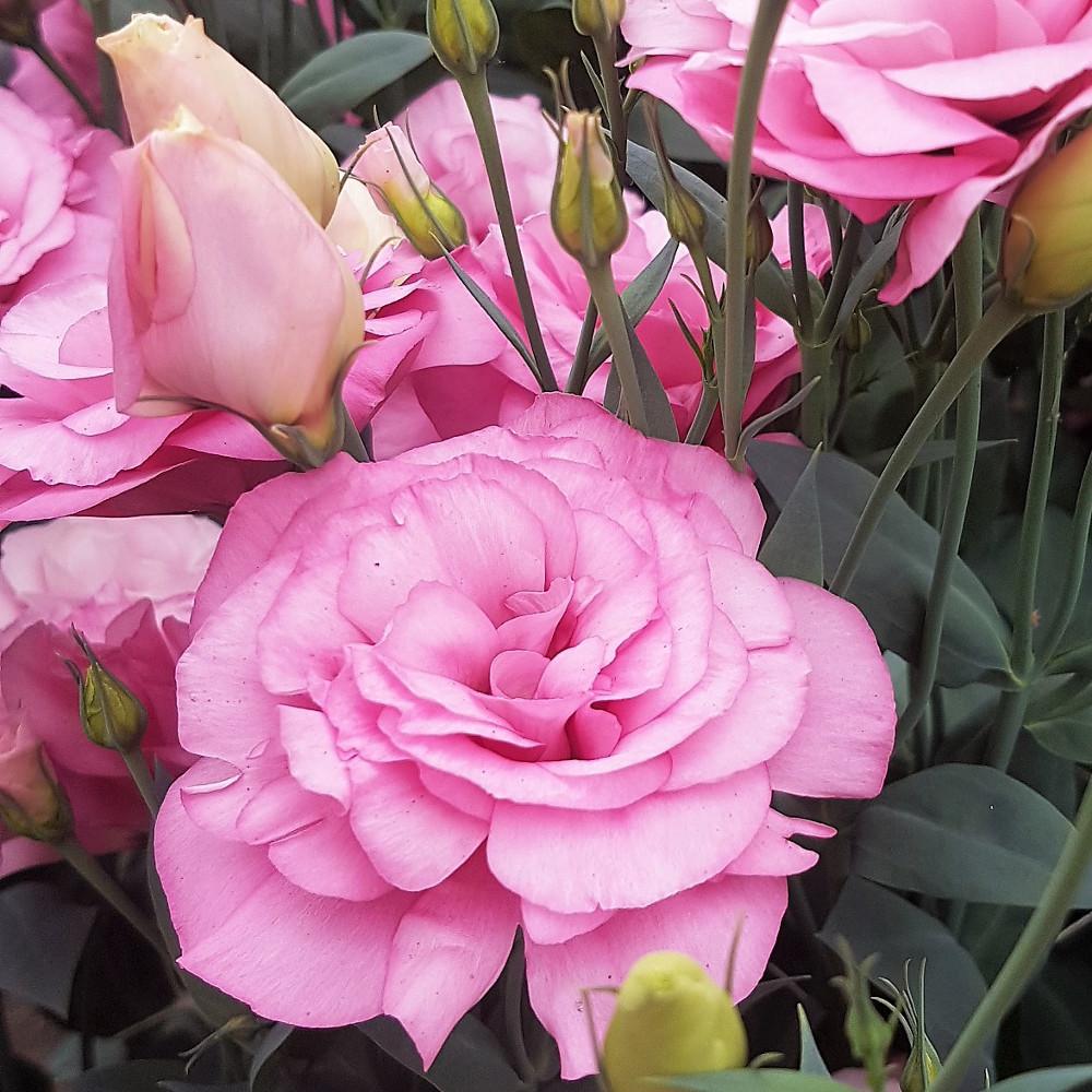 Фото цветов лизиантуса сорта Мариачи Мисти Пинк