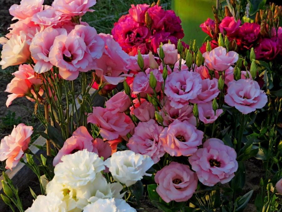 Розовая эустома на высокой грядке в огороде