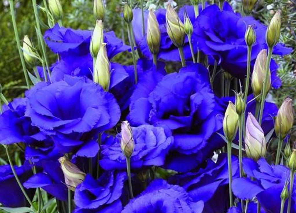 Темно-синие бутоны эустомы сорта Blue Flash Milka