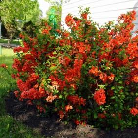 Красные соцветия на ветка небольшого куста