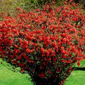 Обильное цветение рослого куста китайской айвы