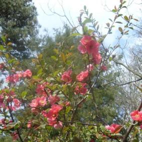 Розовые цветки на тонких ветках айвы