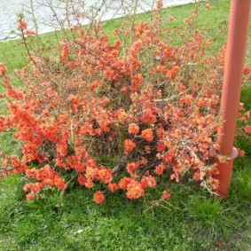 Ветки с розоватыми цветками на фоне зеленого газона