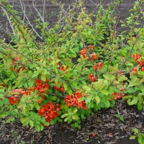 Окончание цветения китайской айвы на дачном участке