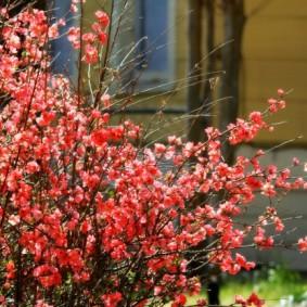 Тонкие ветки с нежно-розовыми цветками