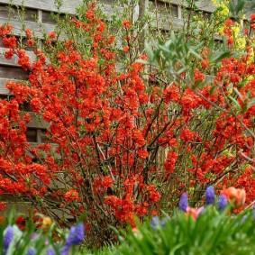 Цветущая айва около деревянного забора