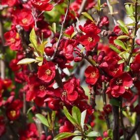 Красно-бардовые цветки с тычинками желтого окраса