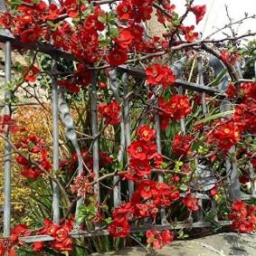 Айва китайская на декоративном заборе
