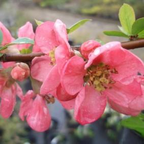 Нежно=розовые цветки на ветке айвы