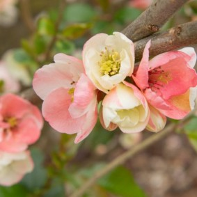 Весеннее цветение японской айвы в России