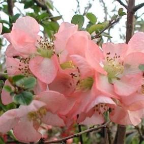 Светло-розовые лепестки на цветке плодовой айвы