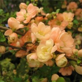 Раннее цветение декоративной айвы