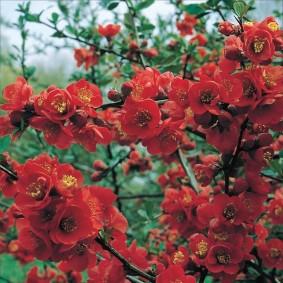 Ветки кустарниковой айвы с красными цветками