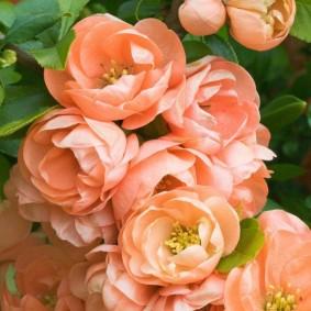 Махровые цветки айвы прекрасной
