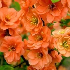 Оранжевая расцветка бутонов на японской айве