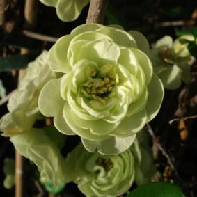 Кремовые цветки на декоративной айве