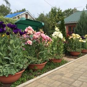Лизиантусы в низких горшках на садовом участке