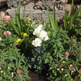 Лизиантус на одной клумбе с лилиями и петунией