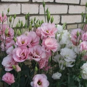 Розовые и белые цветки около стены из силикатного кирпича