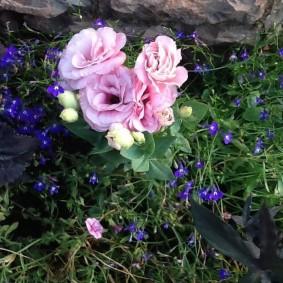 Розово-белый цветок небольшой высоты