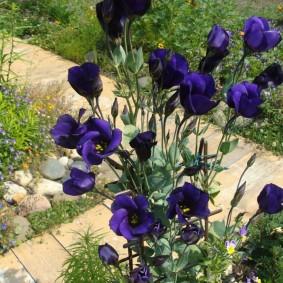 Темно-синие цветки на длинных стеблях