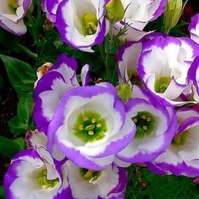 Бело-розовые цветки на кустике эустомы