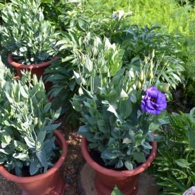 Эустома садовая в начале периода цветения