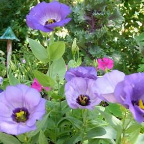 Эустома с цветками похожими на маки