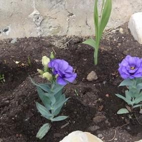 Карликовая эустома с одиночными цветками