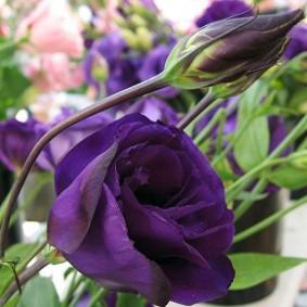 Светло-фиолетовый цветок с нежными лепестками