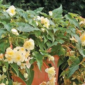 Эустома плетистая с мелкими цветками