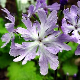 Сиреневые цветки многолетней примулы