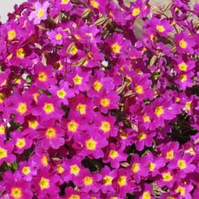 Обильное цветение низкорослой примулы на клумбе