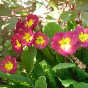 Крупные цветки примулы садовой